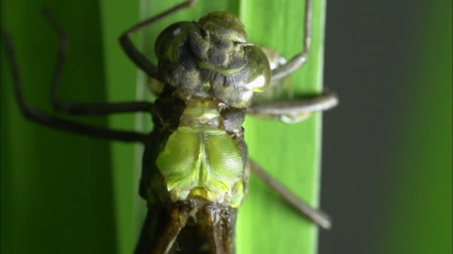 view of larva of large dragonfly molting the skins - insect stock videos & royalty-free footage