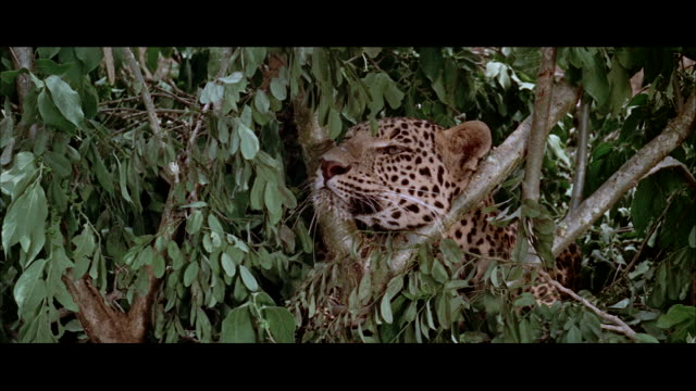 ms view of leopard in bushes. - letterbox format stock videos & royalty-free footage