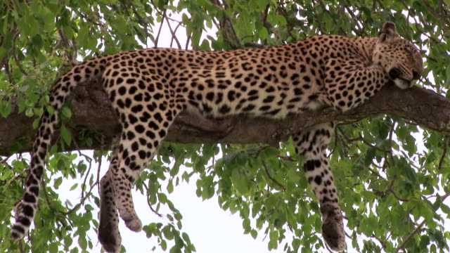 WS PAN View of Leopard laying on tree / Kruger National Park, Mpumalanga, South Africa