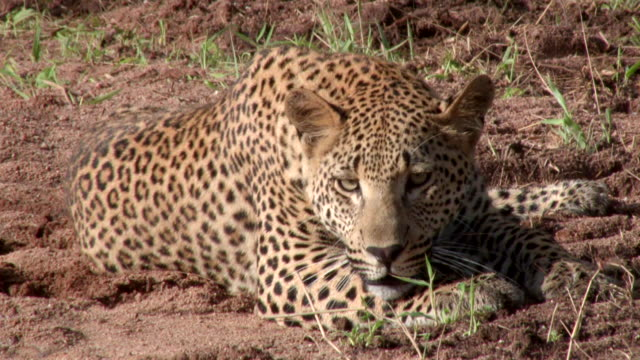 MS View of Leopard panting and resting / Kruger National Park, Mpumalanga, South Africa