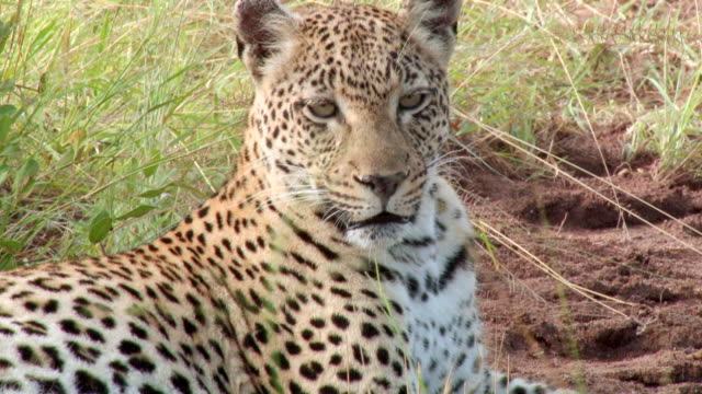 ms zo view of leopard resting in grass / kruger national park, mpumalanga, south africa - provinz mpumalanga stock-videos und b-roll-filmmaterial