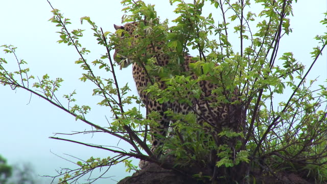 ms view of leopard resting on termite mound / kruger national park, mpumalanga, south africa - provinz mpumalanga stock-videos und b-roll-filmmaterial