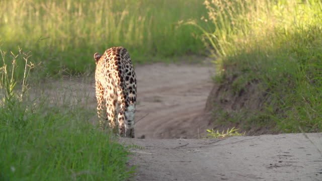 ws slo mo view of leopard walking down road in slow motion / kruger national park, mpumalanga, south africa - mpumalanga province stock videos and b-roll footage