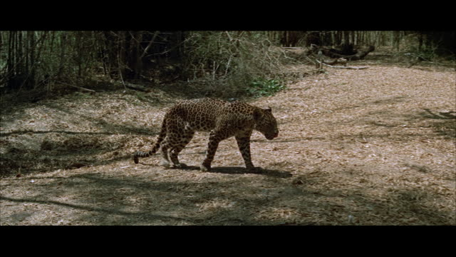 WS PAN View of leopard walking slowly through jungle