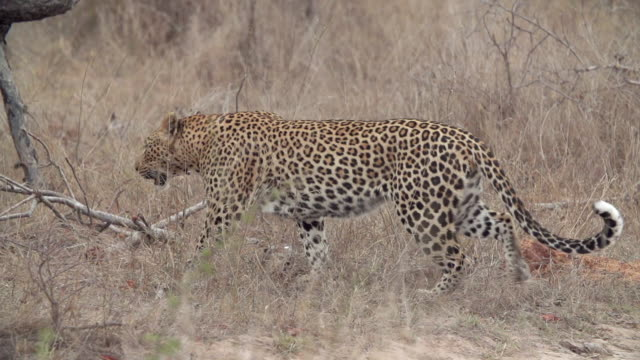 WS TS SLO MO View of Leopard walking through grass / Kruger National Park, Mpumalanga, South Africa