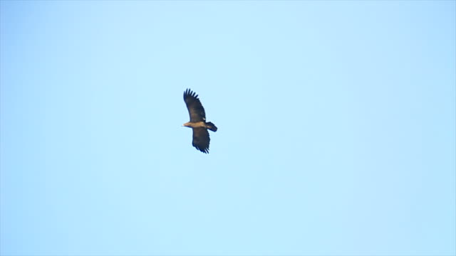 ws la view of lesser spotted eagle soaring under blue sky / judea, israel - eagle bird stock videos and b-roll footage