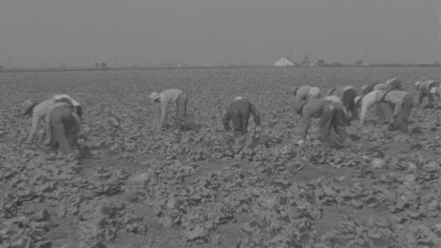 WS View of lettuce fields pickers working