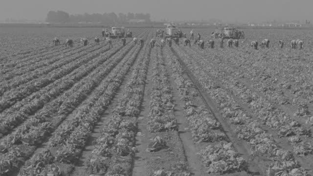 vídeos y material grabado en eventos de stock de ws view of lettuce fields pickers working - arrancar malas hierbas
