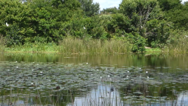view of lily pads, water, reeds, grasses, trees and nesting white birds in  wetland with nature sounds - birdsong stock videos & royalty-free footage