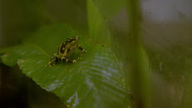 ws view of limosa harlequin frog on leaf / panama - animal markings stock videos & royalty-free footage
