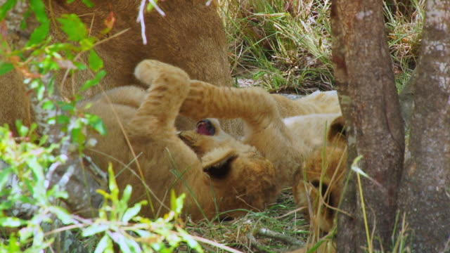 stockvideo's en b-roll-footage met ms view of lion cubs playing / kruger national park, mpumalanga, south africa - vier dieren