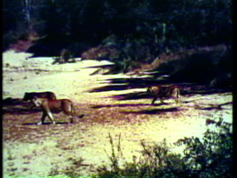 1953 WS View of lion, giraffes, gazelles, elephants and deer in forest / AUDIO