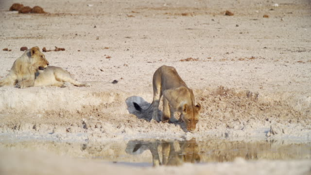 ws view of lioness drinking water / etosha national park, namibia - namibia stock videos & royalty-free footage