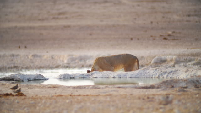 stockvideo's en b-roll-footage met ws ts view of lionesses in savannah / etosha national park, namibia - namibië