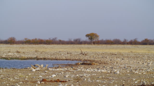 ws view of lions resting near water hole in savannah / etosha national park, namibia - animals in the wild stock videos & royalty-free footage