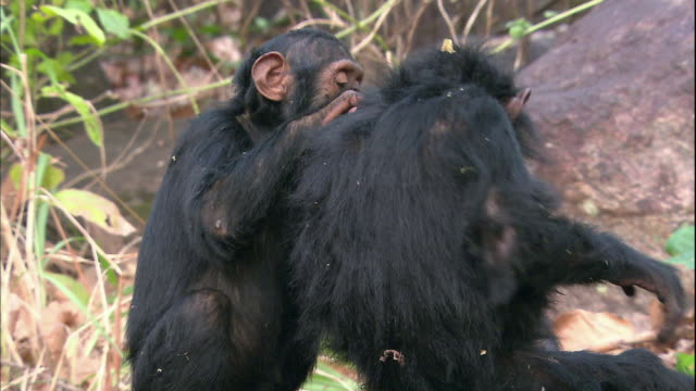 view of little chimpanzees grooming each other in manyara national park (famous spot for study about chimpanzees) in tanzania - sich pflegen tierisches verhalten stock-videos und b-roll-filmmaterial