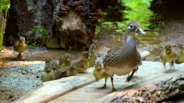 view of little mandarin ducks walking with their mom on the road - anatra uccello acquatico video stock e b–roll