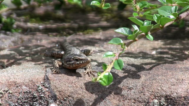 ms view of  lizard on stone / oberstdorf, bavaria, germany  - stein stock-videos und b-roll-filmmaterial