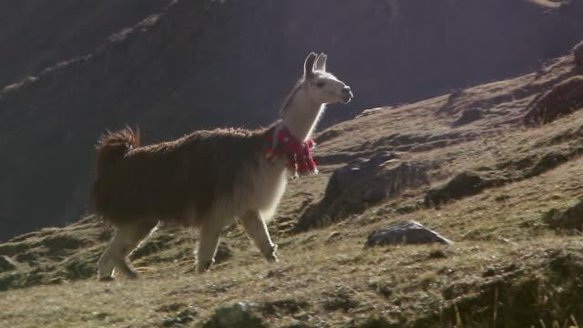 ws ts view of lllama running uphill, followed by peruvian woman in traditional dress atwillkanuta mountain range / cusco, peru - traditional clothing stock videos & royalty-free footage