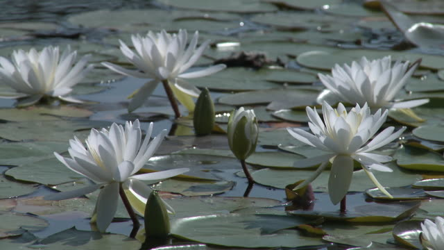 ms view of lotus water lily in botanic garden / copenhagen, denmark, denmark  - lily stock videos & royalty-free footage