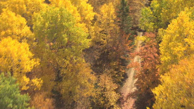 WS AERIAL View of low over fall trees in Lost Forty / Minnesota, United States