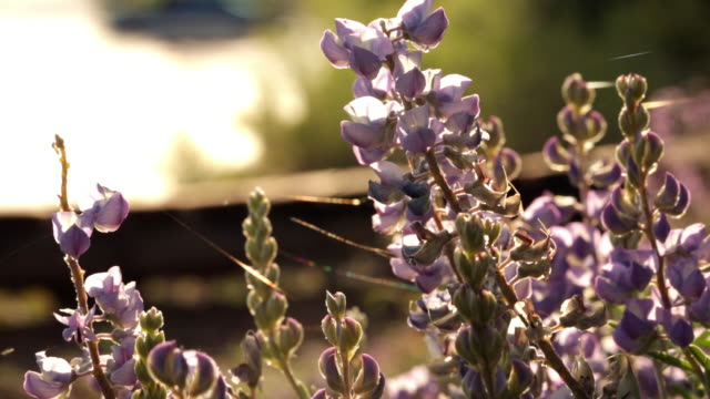 view of lupine flowers up close - wildflower stock videos & royalty-free footage