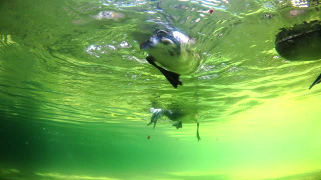 stockvideo's en b-roll-footage met view of madarin ducks swimming and diving under the water - zwemvlies