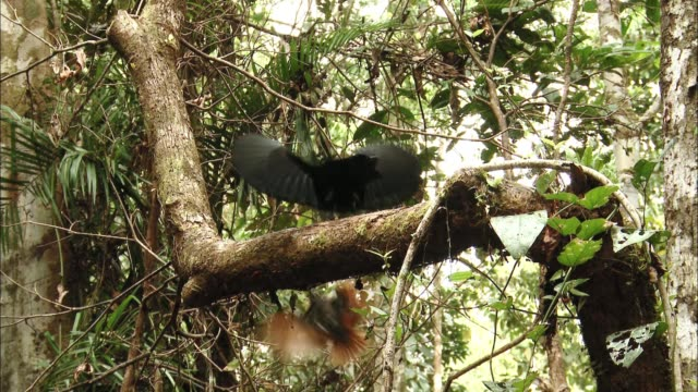 vídeos de stock, filmes e b-roll de view of magnificent riflebirds' mating dance in papua new guinea - two animals