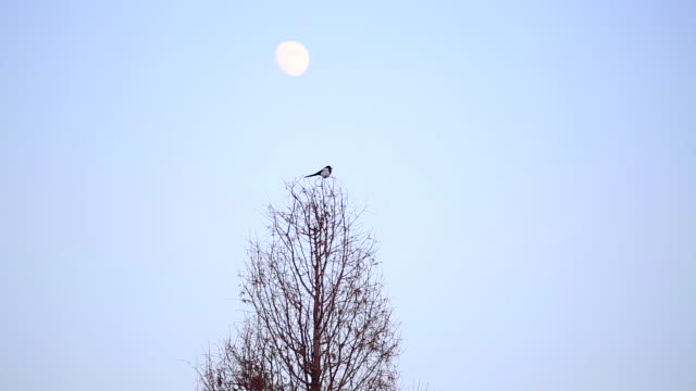 view of magpie in winter - elster stock-videos und b-roll-filmmaterial