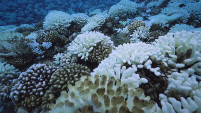 a view of major bleaching on the coral reefs of the society islands on may 9 2019 in moorea french polynesia major bleaching is currently occurring... - moorea stock videos & royalty-free footage