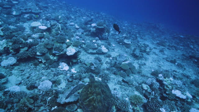 a view of major bleaching on the coral reefs of the society islands on may 9 2019 in moorea french polynesia major bleaching is currently occurring... - seabed stock videos & royalty-free footage