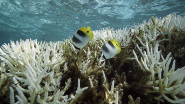 vídeos de stock, filmes e b-roll de a view of major bleaching on the coral reefs of the society islands on may 9 2019 in moorea french polynesia major bleaching is currently occurring... - territórios ultramarinos franceses