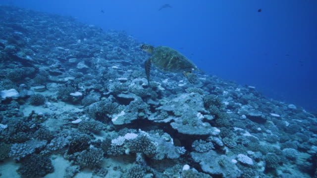 vídeos de stock, filmes e b-roll de view of major bleaching on the coral reefs of the society islands on may 9, 2019 in moorea, french polynesia. major bleaching is currently occurring... - polinésia francesa