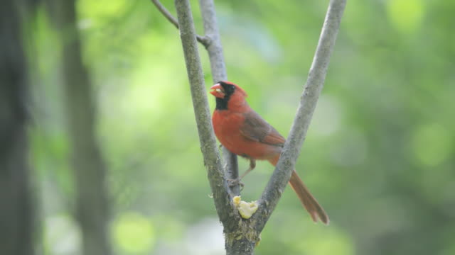 WS View of Male cardinal (Cardinalis cardinalis) eating homemade suet placed in fork of tree / Valparaiso, Indiana, United States