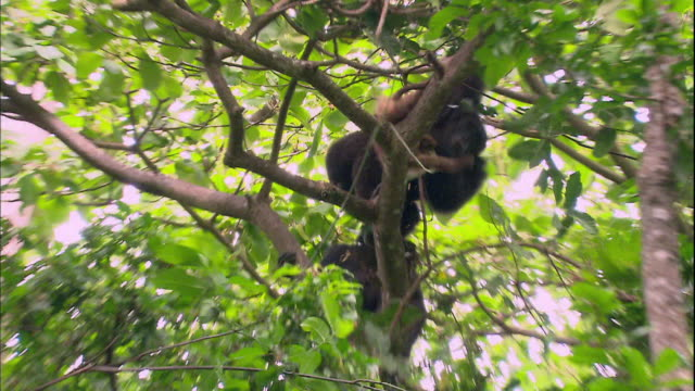 vídeos y material grabado en eventos de stock de view of male chimpanzees capturing a monkey in manyara national park (famous spot for study about chimpanzees) in tanzania - chimpancé