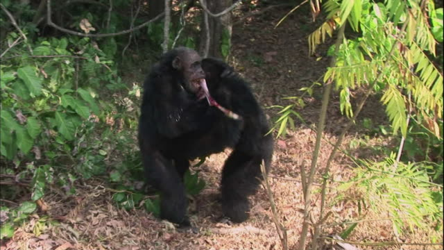 view of male chimpanzees carrying their hunted money in manyara national park (famous spot for study about chimpanzees) in tanzania - männliches tier stock-videos und b-roll-filmmaterial