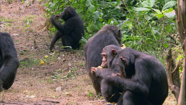 View of male chimpanzees eating lemons in Manyara national park (famous spot for study about chimpanzees) in Tanzania
