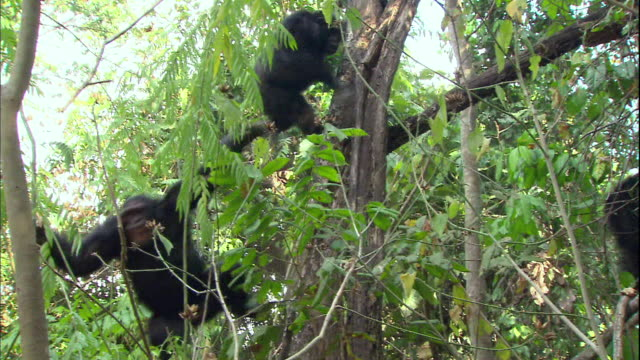 view of male chimpanzees fighting for higher rank in manyara national park (famous spot for study about chimpanzees) in tanzania - chimpanzee stock videos & royalty-free footage