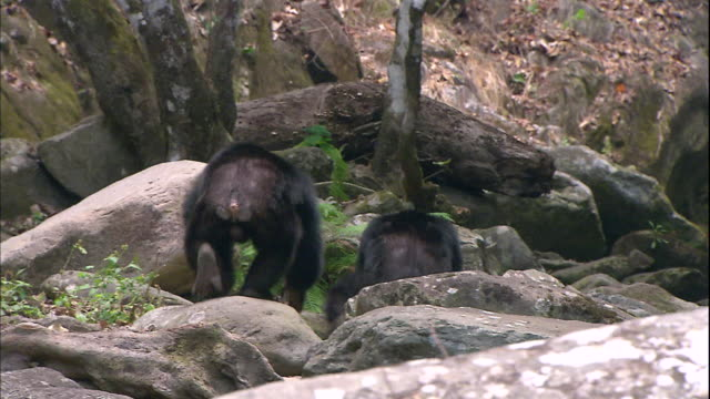 view of male chimpanzees gathering  around at valley in a jungle in manyara national park (famous spot for study about chimpanzees) in tanzania - chimpanzee stock videos & royalty-free footage