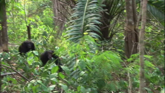 view of male chimpanzees going for hunt in manyara national park (famous spot for study about chimpanzees) in tanzania - männliches tier stock-videos und b-roll-filmmaterial