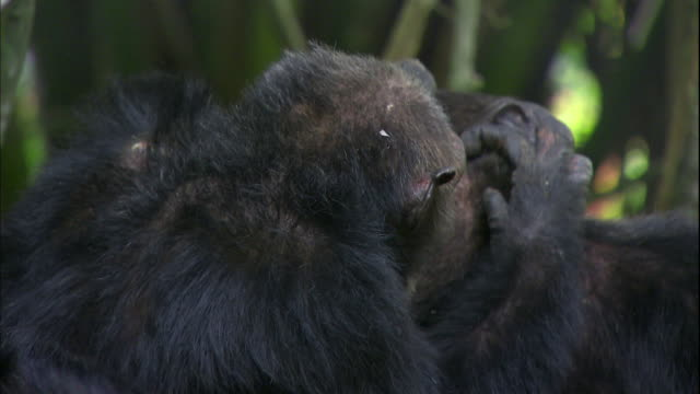 View of male chimpanzees grooming each other in Manyara national park (famous spot for study about chimpanzees) in Tanzania