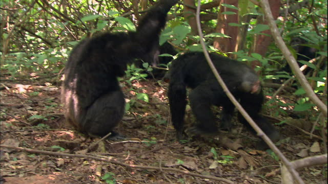 view of male chimpanzees in manyara national park (famous spot for study about chimpanzees) in tanzania - männliches tier stock-videos und b-roll-filmmaterial