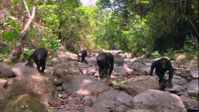 view of male chimpanzees walking along a valley in a jungle in manyara national park (famous spot for study about chimpanzees) in tanzania - chimpanzee stock videos & royalty-free footage
