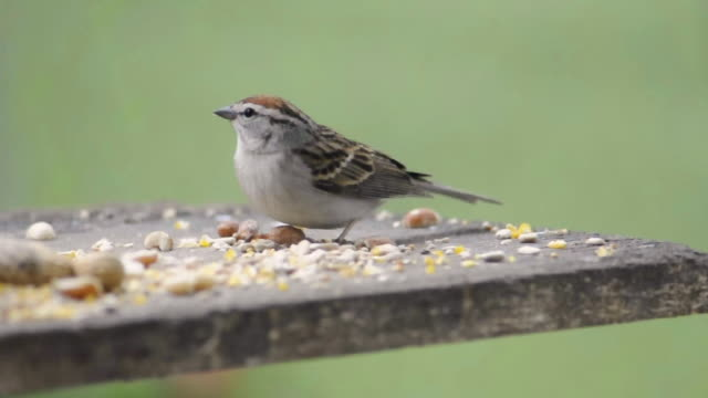 ws view of male chipping sparrow (spizella passerina) eats seeds on feeding board on windy day while crabapple tree blossoms blow past / valparaiso, indiana, united states - sparrow stock videos & royalty-free footage