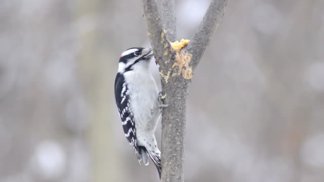 stockvideo's en b-roll-footage met ms view of male downy woodpecker (picoides pubescens) pecks at homemade suet in  fork of small tree / valparaiso, indiana, united states - pikken