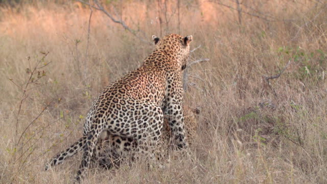 ws slo mo view of male leopard mating with female leopard / kruger national park, mpumalanga, south africa - mpumalanga province stock videos and b-roll footage