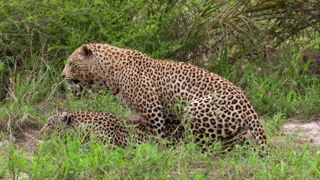 ms view of male leopard mating with female leopard / kruger national park, mpumalanga, south africa - gymnastikanzug stock-videos und b-roll-filmmaterial