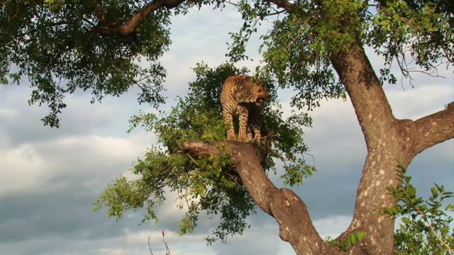 WS TD View of Male leopard standing on tree branch / Kruger National Park, Mpumalanga, South Africa