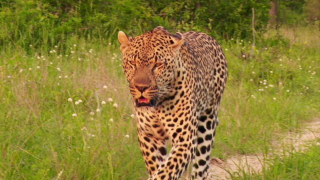 ms ts view of male leopard walking down dirt road / kruger national park, mpumalanga, south africa - mpumalanga province stock videos and b-roll footage