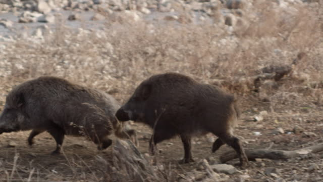view of male wild pig and female wild pig during the breeding season in dmz (demilitarized zone, a strip of land running across the korean peninsula), south korea - 哺乳類点の映像素材/bロール